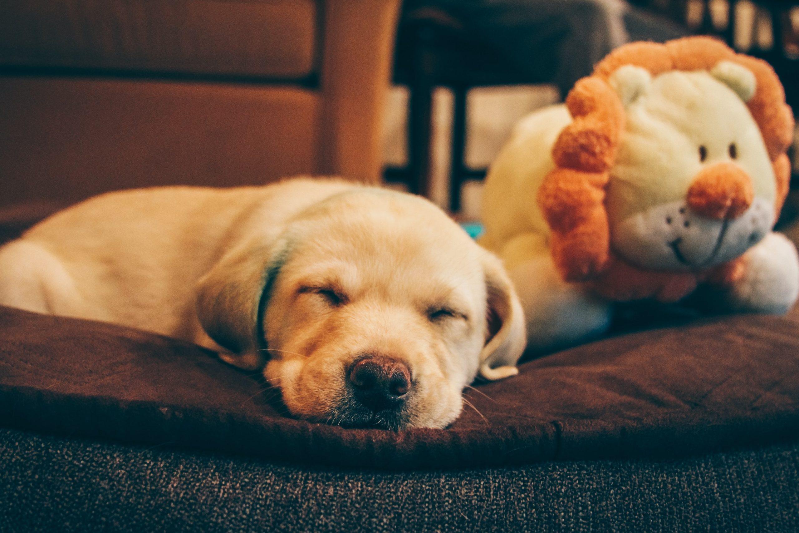 Cachorros de labrador 3 by Kshitij Shah